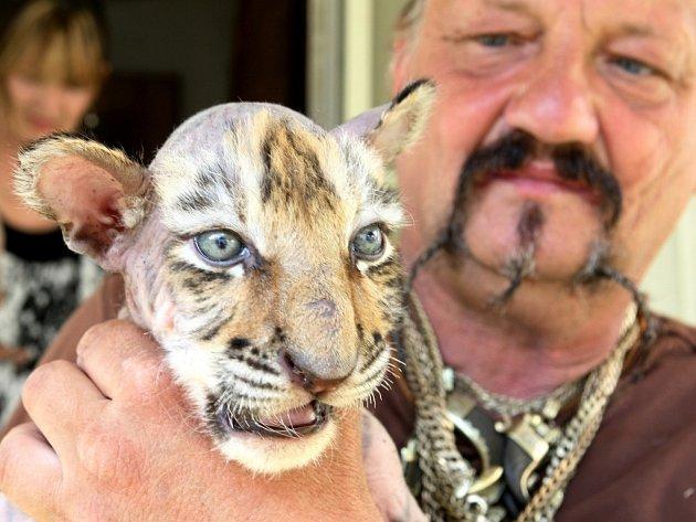 Principál a krotitel šelem se chlubí novými přírůstky tygří rodiny.