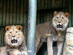Lvi v liberecké zoo.