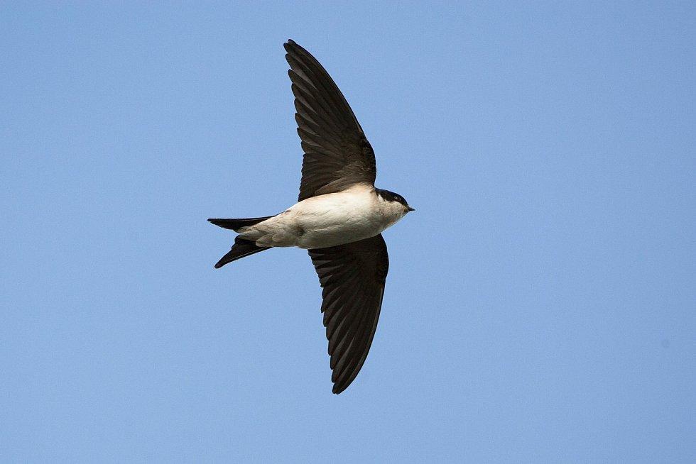 Jiřička obecná v letu. Celý spodek těla je bílý.