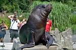 Lachtani v liberecké zoologické zahradě dvakrát denně vystupují i pro veřejnost. Jejich hlavním ošetřovatelem a chovatelem je Petr Honc.