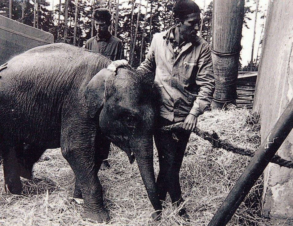 První krůčky slonice po liberecké zoo.