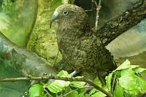 Z Belgie a Německa chovatelé přivezli pár novozélandských papoušků nestor kea, kteří jsou označováni za jedny z nejhravějších a nejzvídavějších tvorů na světě.