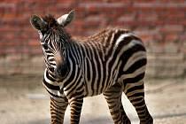 Mládě zebry bezhřívé