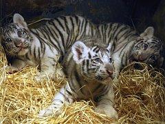 Malí tygříci zvedají zájem o zahradu