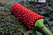 Zmijovec titánský (na snímku z 10. dubna) v liberecké botanické zahradě plodí, o semena mají zájem z celého světa. Bobule barvy zralých brusinek velké jako ředkvička jsou botanickou vzácností.