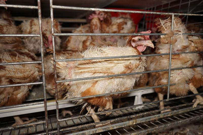 Za zákaz klecové chovu bojují Obránci zvířat.