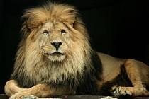 Libereckou ZOO opustil lev Sultán, zemřel stářím.