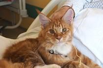 Zvířecí smečka v krajské nemocnici má nový přírůstek. Kocour James Bond pomáhá v rámci zvířecí terapie na oddělení následné péče.