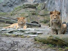 OHROŽENÁ ZVÍŘATA . Berberští lvi Terry a Basty míří pod Ještěd.