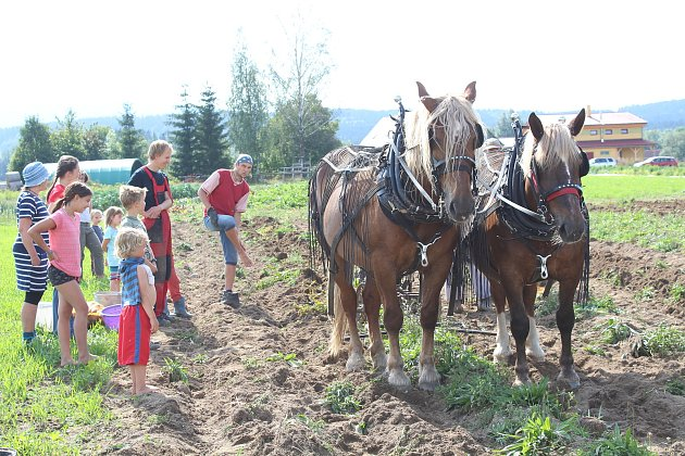 Na rodinné farmě Lukava vJindřichovicích se sklízely brambory jen spomocí rukou a koní.