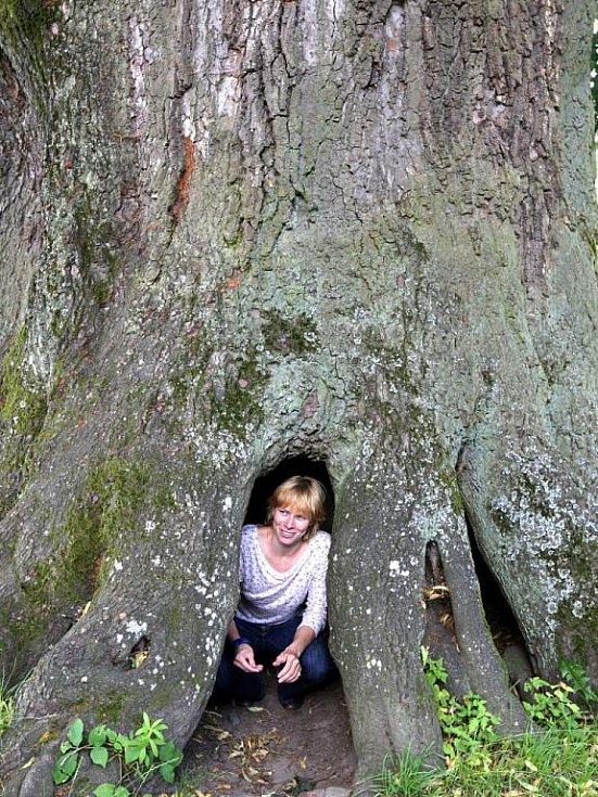 Kotelská lípa měří na obvodu 12,5 metru a do jejího vykotlaného kmene se vejde až dvacet dětí najednou. Lípa, jejíž stáří je odhadováno na 870 až 950 let, patří mezi státem chráněné stromy.