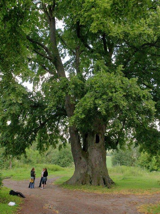Lípa, jejíž stáří je odhadováno na 870 až 950 let, patří mezi státem chráněné stromy. Její další osud záleží na tom, jak v regionu uspěje podnik Diamo se svým plánem otevřít zde uranové doly.