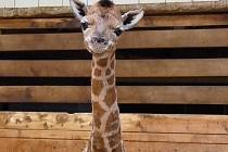 V liberecké zoologické zahradě se 30. prosince 2013 narodil sameček žirafy rotschildovy.
