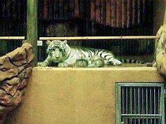 Tygřata v liberecké zoo se už začínají vydávat ven.
