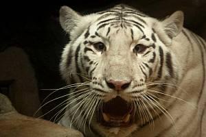 Zabavený bílý tygr