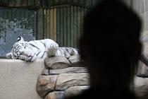 Tygřatům bude rok