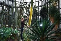 V liberecké botanické zahradě kvete poprvé obří agáve.