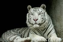Bílý tygr Paris v liberecké zoo