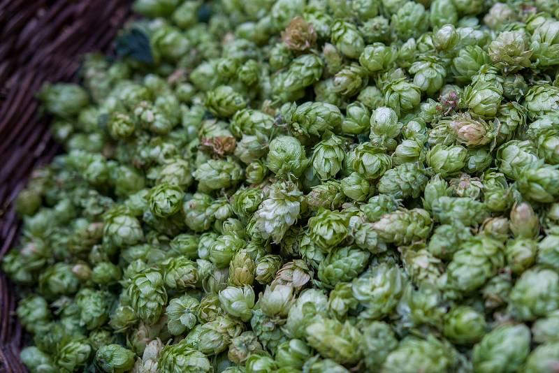 V zámeckém pivovaru Frýdlant vařili poprvé v historii  pivo z úrody chmele vypěstované na Střední škole hospodářské a lesnické ve Frýdlantě. Na snímku z 31. srpna je koš chmele.