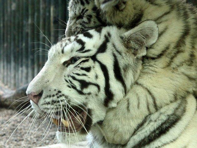 Máma na mladé tygry stále dohlíží.