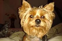 Yorkšírský teriér jménem Gucci zmizel v neděli 28. října ze svého bydliště v Americké ulici v Liberci.