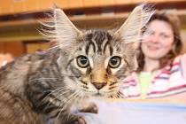 Na 32. a 33. ročníku Mezinárodní výstavy koček se předvedly v libereckém Koloseu ty nejkrásnější kočky nejen z celé České republiky.