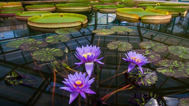 Kvetoucí lekníny v liberecké botanické zahradě. Snímek je z 8. srpna.