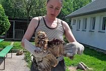 Případy uvízlých zvířat mnohdy nekončí šťastně. Štěstí měl ale  puštík, který skončil s roztrhaným křídlem poté, co se zamotal do ostnatého drátu.
