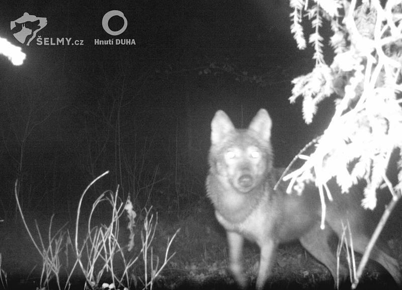 Vlk na Frýdlantsku zachycený fotopastí.