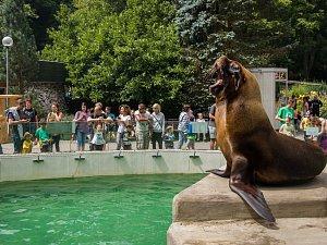Lachtan hřivnatý v liberecké zoologické zahradě.