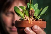 Vzácné orchideje vykvetly v liberecké botanické zahradě.