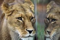 V liberecké zoo uhynula šestnáctiletá lvice Elsa.