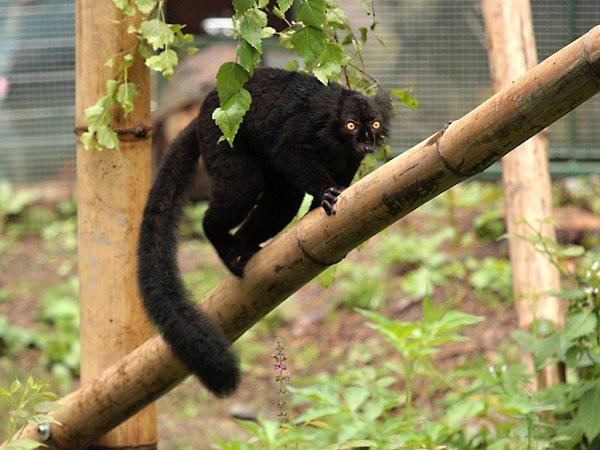 Lemur tmavý na 'Ostrově poloopic' vliberecké zoologické zahradě.