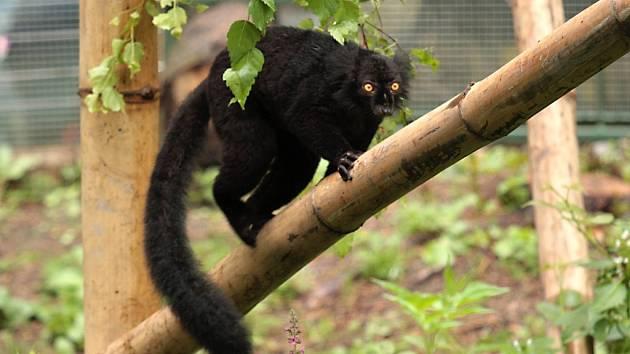 Lemur tmavý na 'Ostrově poloopic' v liberecké zoologické zahradě.