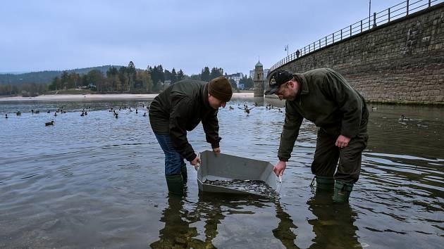 Rybáři nakoupili 6000 candátů a vypustili je do přehrady.