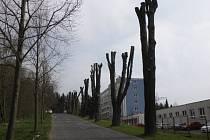 LIPOVOU ALEJ nesprávným ořezáním nenávratně poničili. Stromy budou mít i menší korunu.