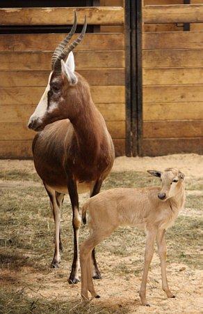 PRVNÍ MLÁDĚ letošního roku vliberecké zoo je sameček buvolce běločelého Mel. Vdospělém věku dosahuje hmotnosti od 50do 80kilogramů. Dožívá se vprůměru 17let.