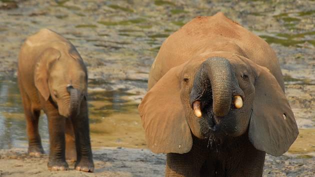 Slonice a slůně pralesních slonů.