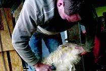 Tomáš Vladyka stříhá ovce už 10 let. Je to jediný střihač v Libereckém kraji a na kontě má 60 000 ostříhaných ovcí.