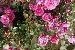 Růžová školka Pelcových.