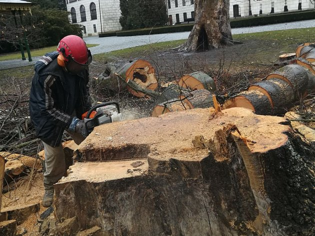 V třeboňském zámeckém parku se provádí kácení stromů.  Jedním ze stromů byl asi  stoletý buk, který rostl při vchodu do parku z nádvoří. Ve spodní části kmene byl vyhnilý. Vedle však již je vysázený nový.