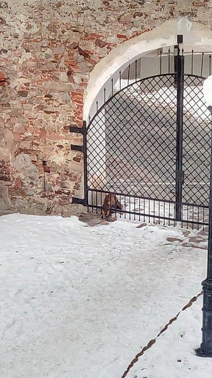 Lišku, která pobíhala kolem patnáctého poledníku, dokumentovali i přihlížející. Foto: Eva Tunklová