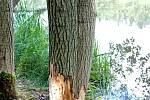 Na Dačicku zaznamenali výskyt bobra.