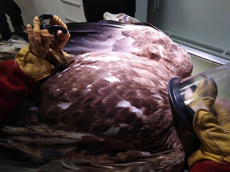 Třeboňská záchranná stanice pečuje i o orla mořského.