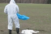 V dubnu 2006 byla u rybníka Velká Černá za obcí Mirochov na Jindřichohradecku nalezena mrtvá labuť, u níž veterináři identifikovali virus ptačí chřipky.
