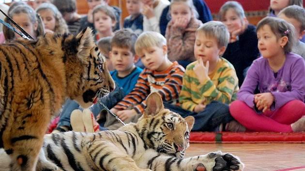 Jihočeští chovatelé z Parku exotických zvířat ze Dvorce u Borovan přivezli dětem v 5. základní škole v J. Hradci ukázat dvě sedmiměsíční mláďata tygra ussurijského a bengálského.
