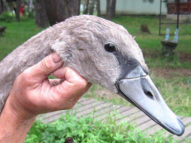 Zachráněná mladá labuť se spolknutým smotkem vlasce, který jí téměř odřízl horní část zobáku a kvůli  němuž nemohla přijímat potravu.