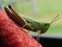 Kobylka zelená, Tettigonia viridissima. Nečekaně nachytána uvnitř auta.