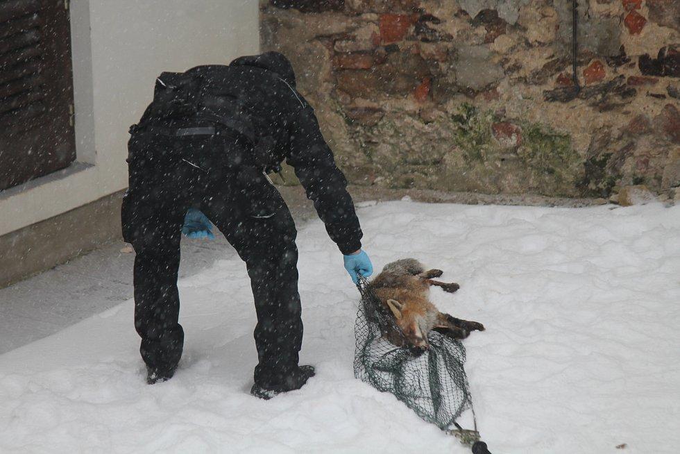 Odchyt lišky, která se kolem patnáctého poledníku toulala od úterního rána, nebyl pro zasahující policisty nikterak snadný.