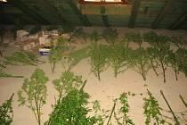 Policisté zajistili v Třeboni 182 rostlin konopí, které pěstovali u domu tři bratři.